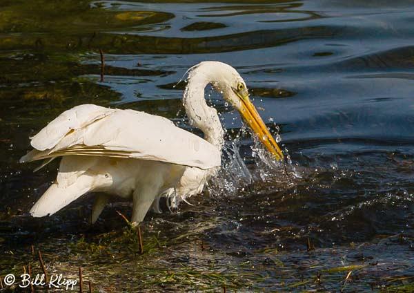Great White Heron Little Palm Island Photos by Bill Klipp