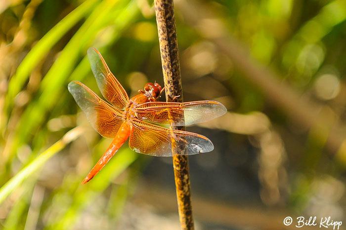 Dragonfly Photos by Bill Klipp