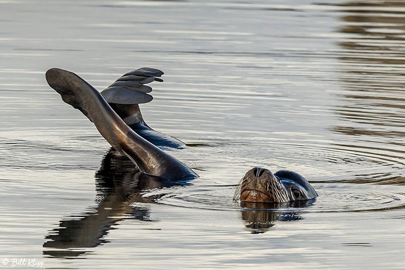 California Sea Lion, Discovery Bay Photos by Bill Klipp