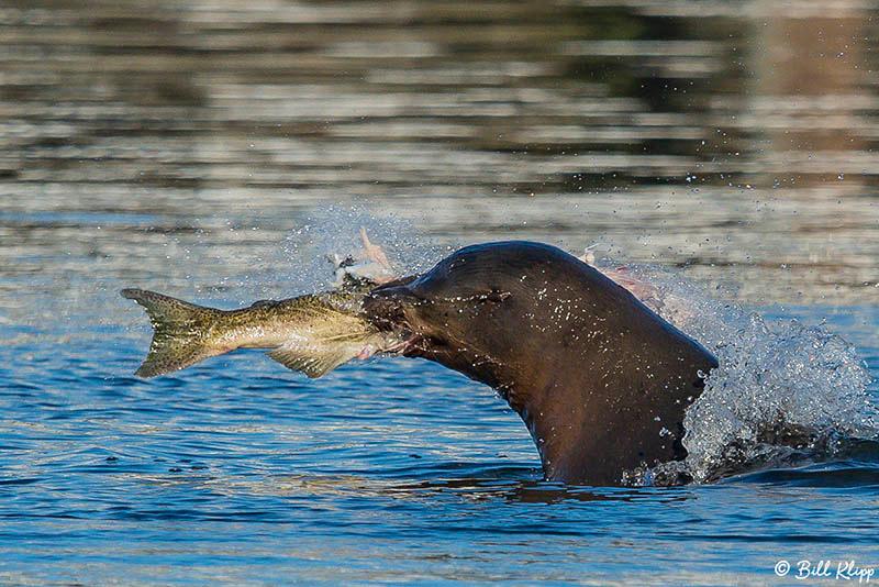 Sea Lion, Beaver Bay, Discovery Bay Photos by Bill Klipp