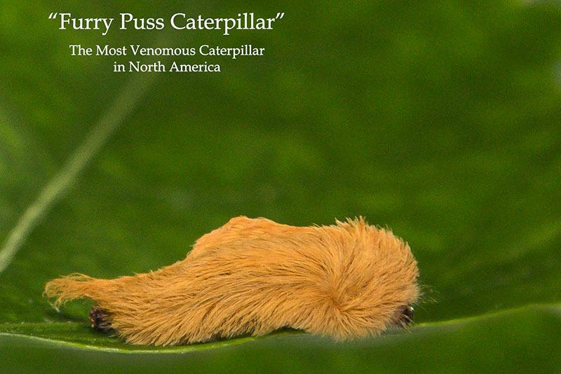Puss Caterpillar, Key West Photos by Bill Klipp