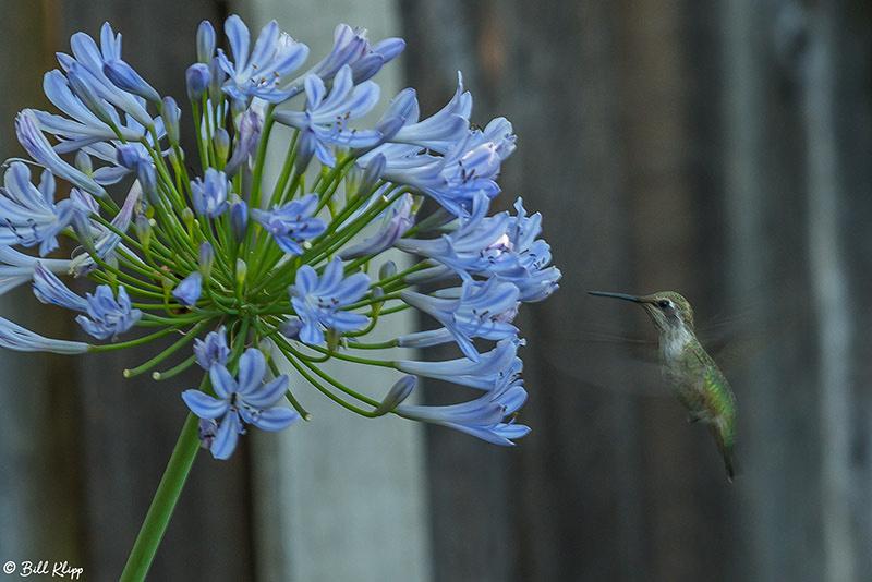 Hummingbird Photos by Bill Klipp