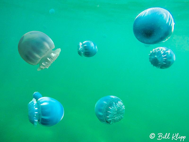 Canon Jellyfish, La Paz Bay, Baja Photos by Bill Klipp