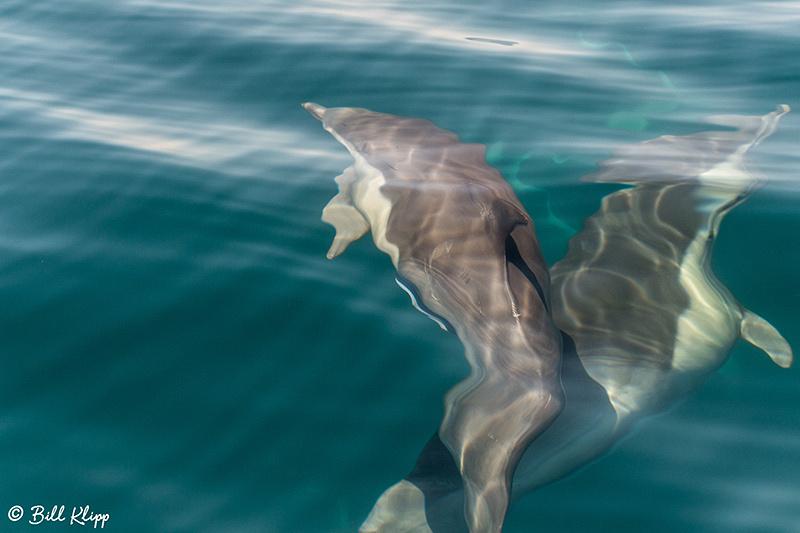 Common Dolphins, Sea of Cortez, Baja Photos by Bill Klipp