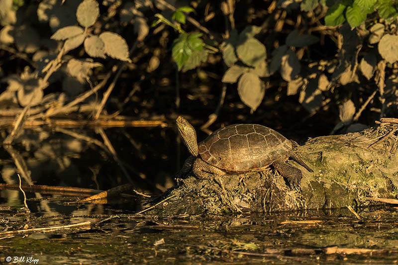 Pacific Pond Turtle Discovery Bay Photos by Bill Klipp