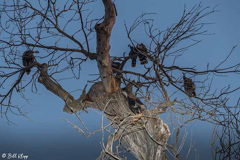 Wild Turkeys, Discovery Bay Photos by Bill Klipp