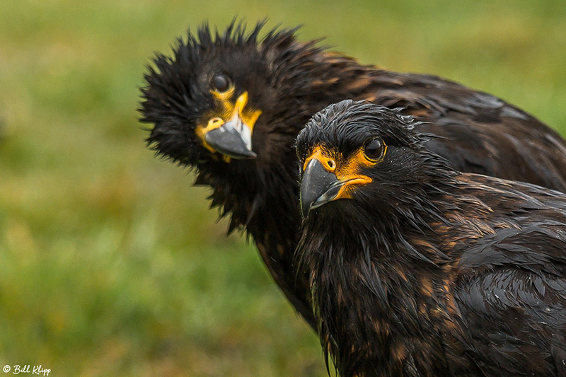 Caracara, Johnny Rook, Carcass Island, West Falkland Islands, Ph