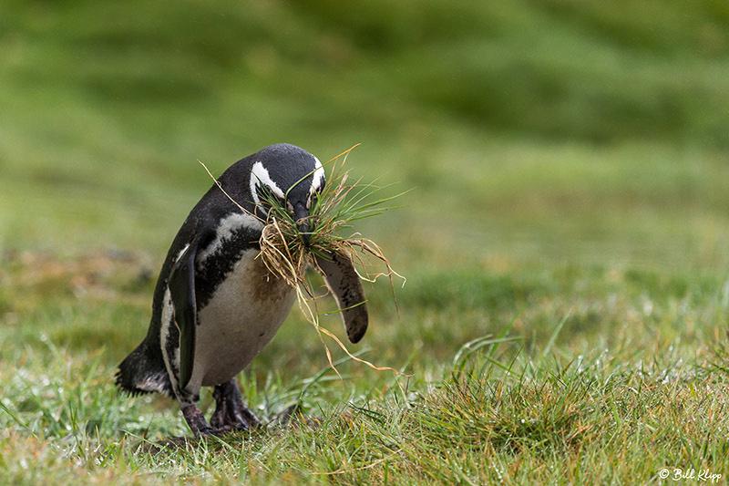 Caracara, Carcass Island, West Falkland Islands, Photos by Bill