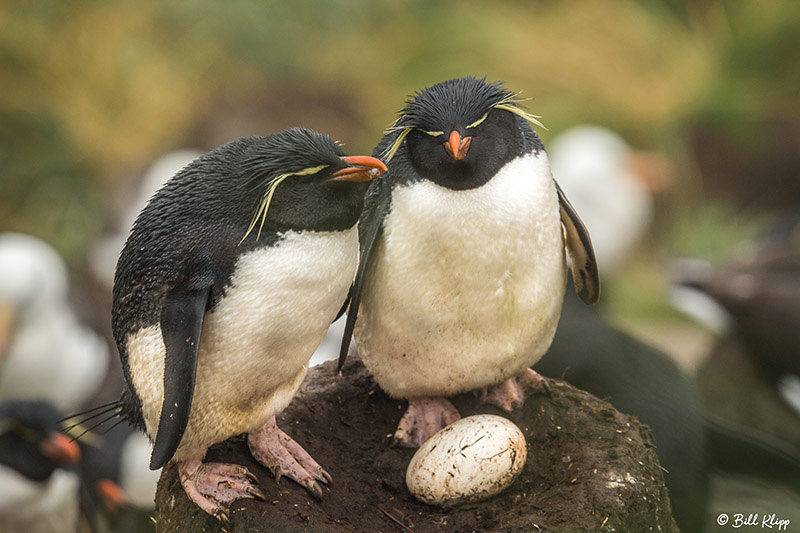 Magellanic Penguins, Carcass Island, West Falkland Islands, Phot