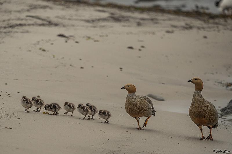 Ruddy Geese, Carcass Island, West Falkland Islands, Photos by Bi