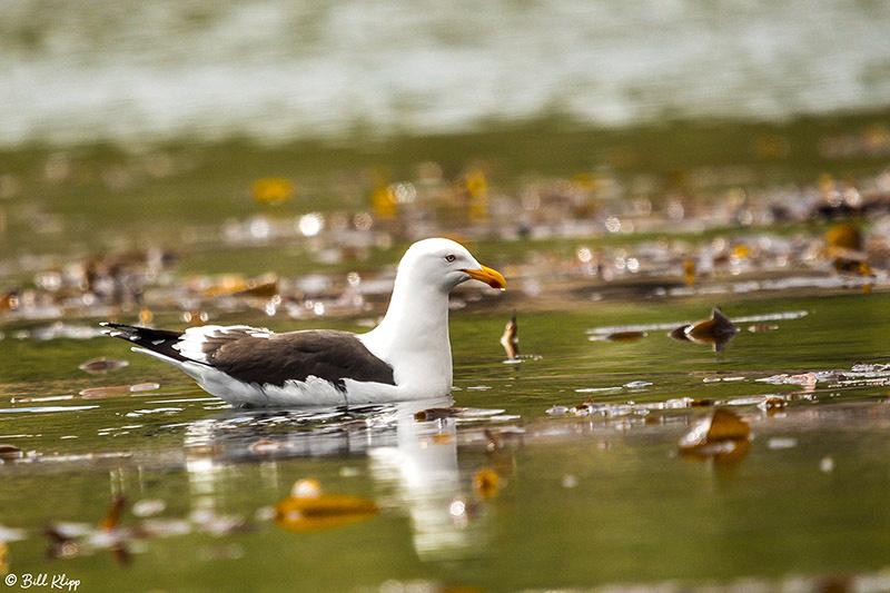Kelp Gull, Godthul Harbour, South Georgia Island Nov 15, 2017, P