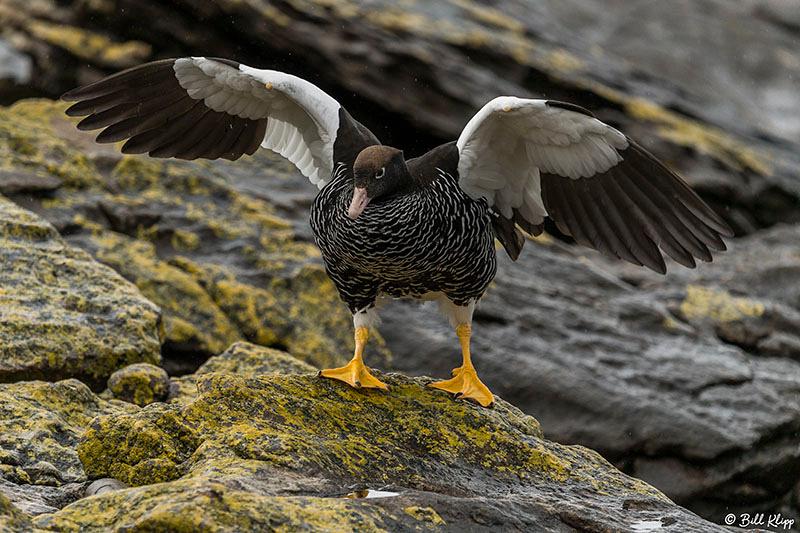 Carcass Island, West Falkland Islands,  Photos by Bill Klipp