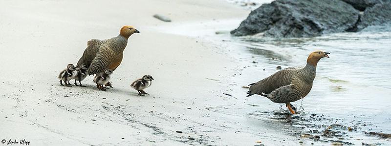 Carcass Island, West Falkland Islands,  Photos by Linda Klipp
