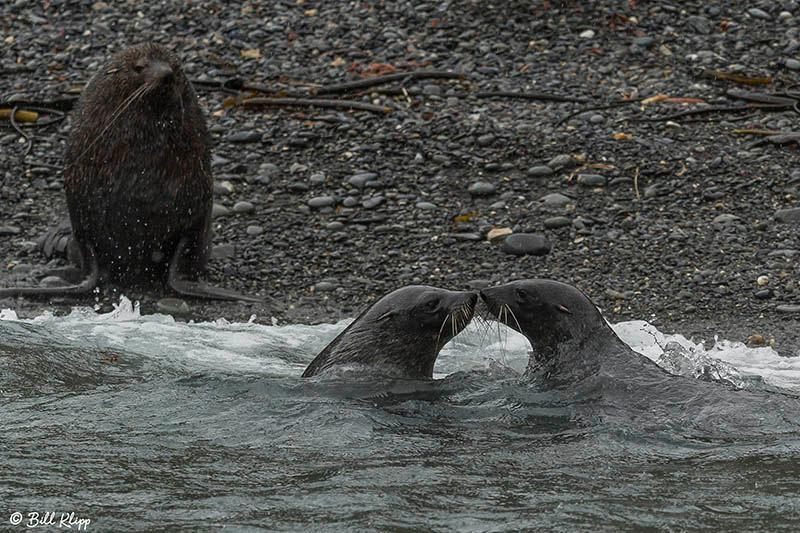 Antarctic Fur Seals, Sea Bears, Elsehul Bay, South Georgia Islan
