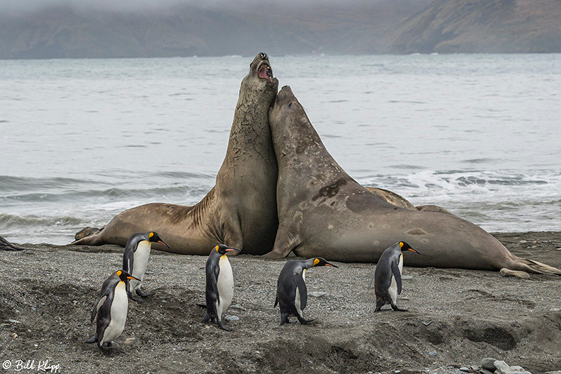 Elephant Seals, St. Andrews Bay, South Georgia Island Photos by