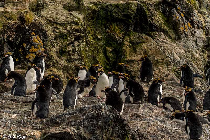 Macaroni Penguin, Hercules Bay, South Georgia Island Photos by B