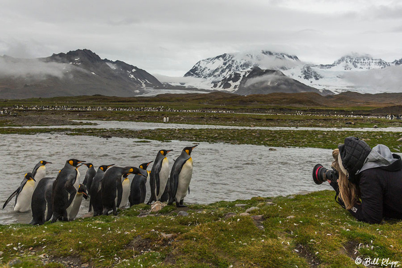 King Penguins St. Andrews Bay, South Georgia Island Photos by Bi