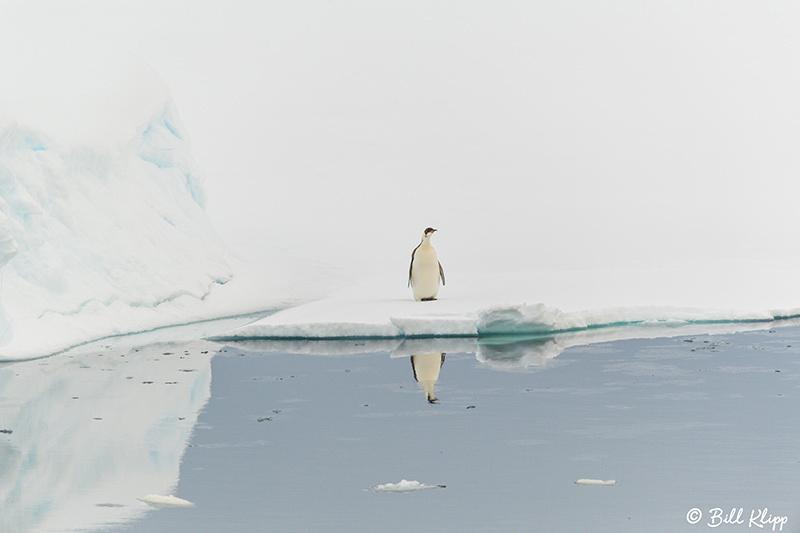 Emperor Penguin, Wilhelmina Bay, Gerlache Strait, Antarctica, No