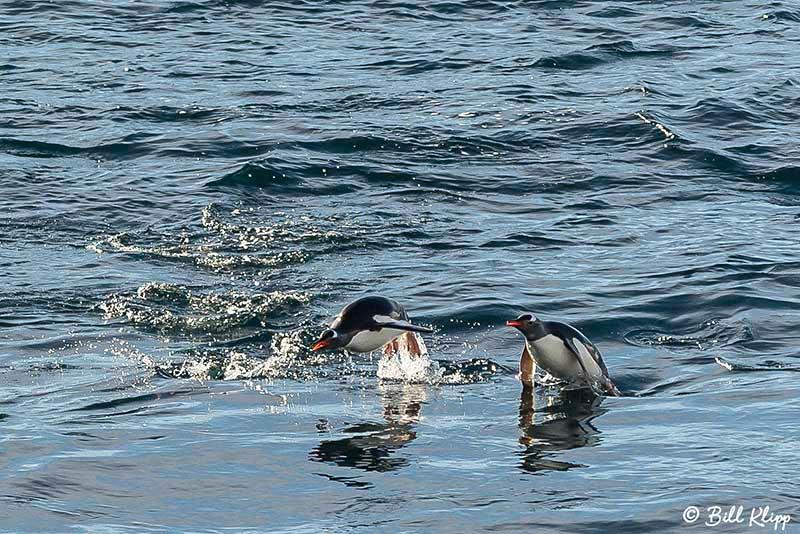 Gentoo Penguin, Wilhelmina Bay, Gerlache Strait, Antarctica, Nov 2017, Photos by Bill Klipp