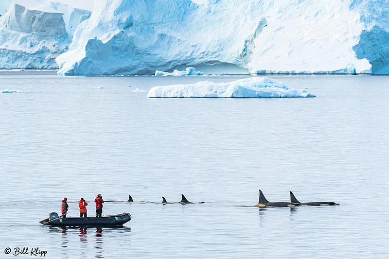 Killer Whales, Orcas, Gerlache Straits, Antarctica, Nov 2017, Photos by Bill Klipp