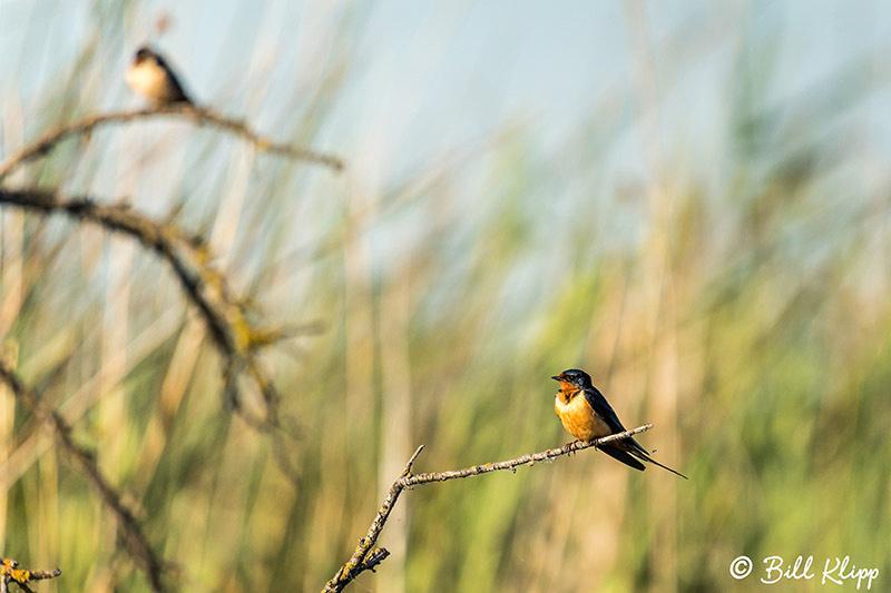 Barn Swallows, Discovery Bay Photos by Bill Klipp