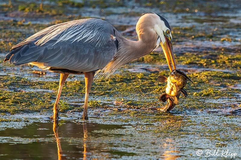 Great Blue Heron, Discovery Bay Photos by Bill Klipp