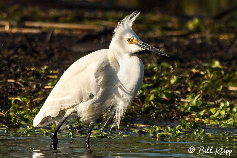 Snowy Egret, Discovery Bay Photos by Bill Klipp