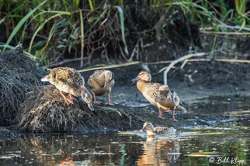 Mallard Ducks, Discovery Bay Photos by Bill Klipp