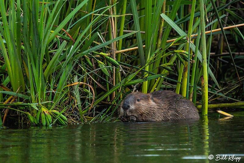 Beaver, Discovery Bay Photos by Bill Klipp