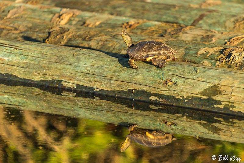 Western Pond Turtle, Discovery Bay, Photos by Bill Klipp