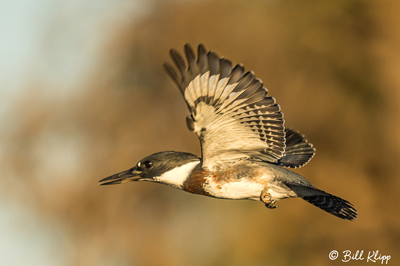 Belted Kingfisher, Discovery Bay Photos by Bill Klipp