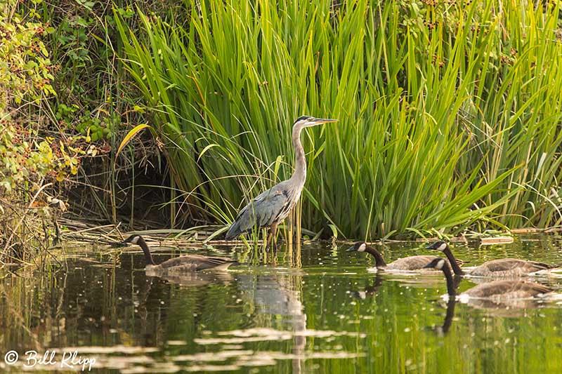 Great Blue Heron, Discovery Bay, Photos by Bill Klipp