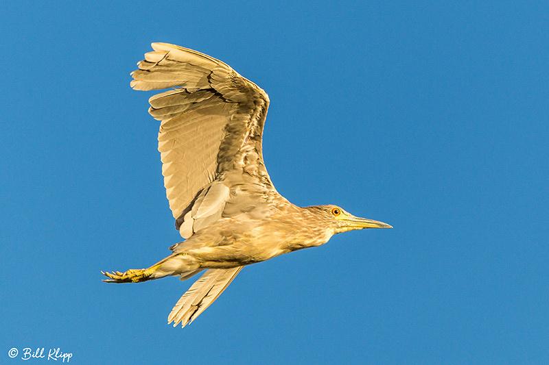 Black-Crowned Night Heron, Discovery Bay, Photos by Bill Klipp
