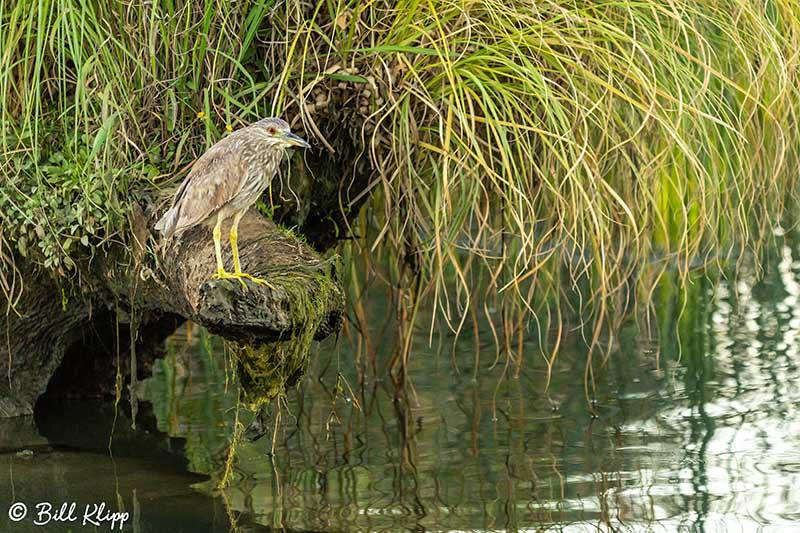 Black-Crowned Night Heron, Discovery Bay Photos by Bill Klipp