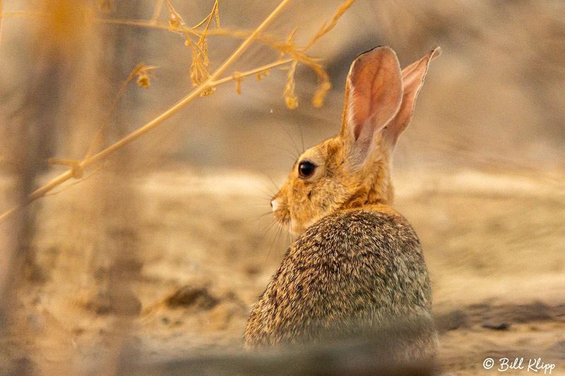 Rabbit, Discovery Bay, Photos by Bill Klipp