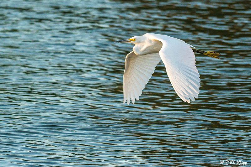 Snowy Egret, Discovery Bay, Photos by Bill Klipp
