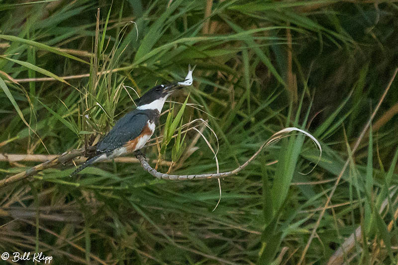 Belted Kingfisher, Discovery Bay, Photos by Bill Klipp