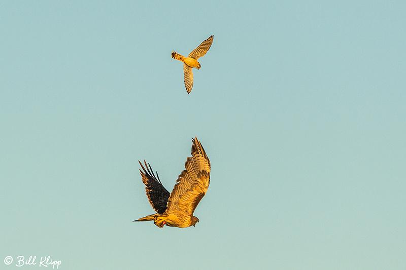 Swainson's Hawk, Discovery Bay, Photos by Bill Klipp