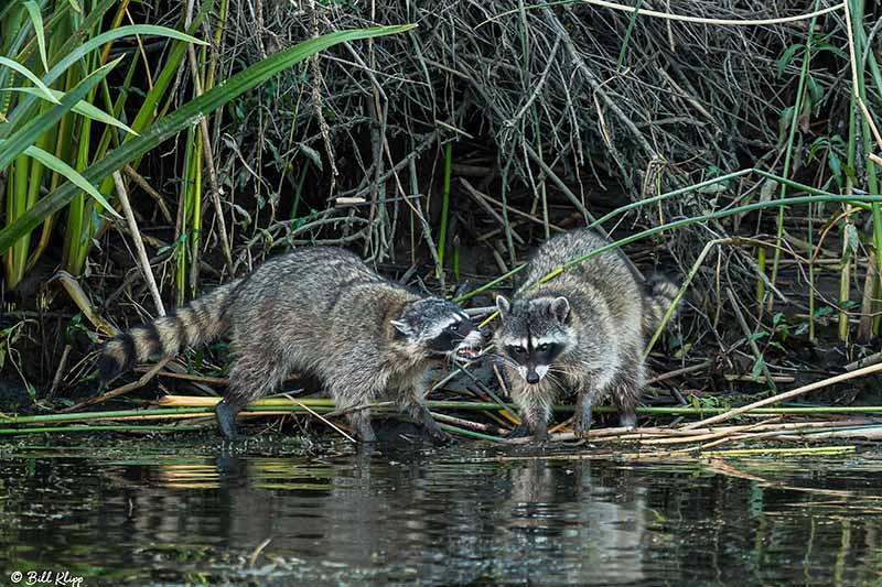 Raccoon, Discovery Bay Photos by Bill Klipp