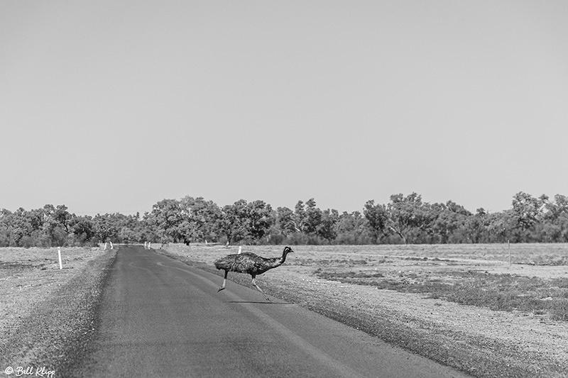 Peaceful Dove, Bowra Reserve, Cunnamulla, Australia, Photos by Bill Klipp