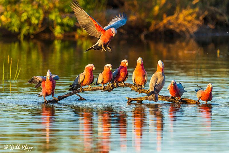 Galah, Bowra Reserve, Cunnamulla, Australia, Photos by Bill Klipp