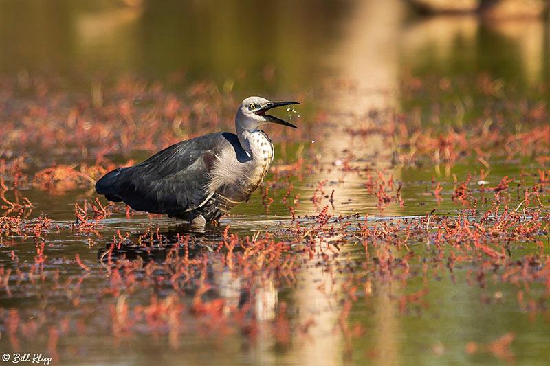 Pacific Heron / White Necked Heron, Bowra Reserve, Cunnamulla, Australia, Photos by Bill Klipp