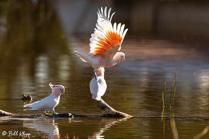 Pink Cockatoo - Major Michells Cockatoo, Bowra Reserve, Cunnamulla, Australia, Photos by Bill Klipp