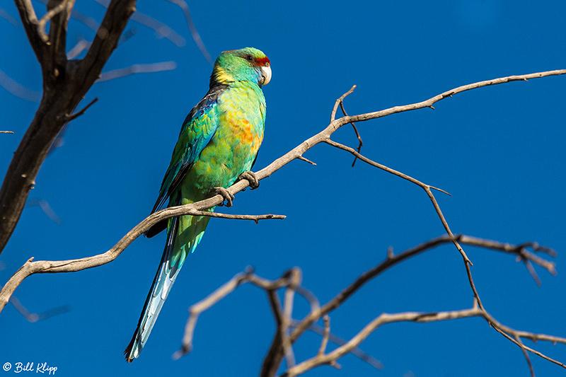 Ring Necked Parrot, Bowra Reserve, Cunnamulla, Australia, Photos by Bill Klipp