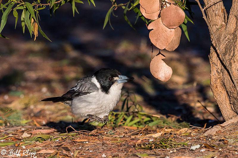 Mulga Parrot, Outback, Australia, Photos by Bill Klipp