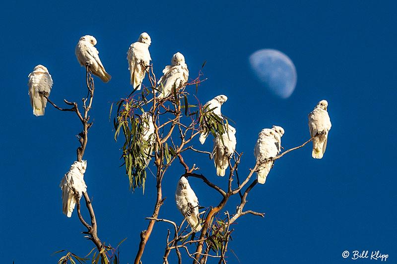 Little Corella, Broadwater Lake, Dalby, Australia, Photos by Bill Klipp