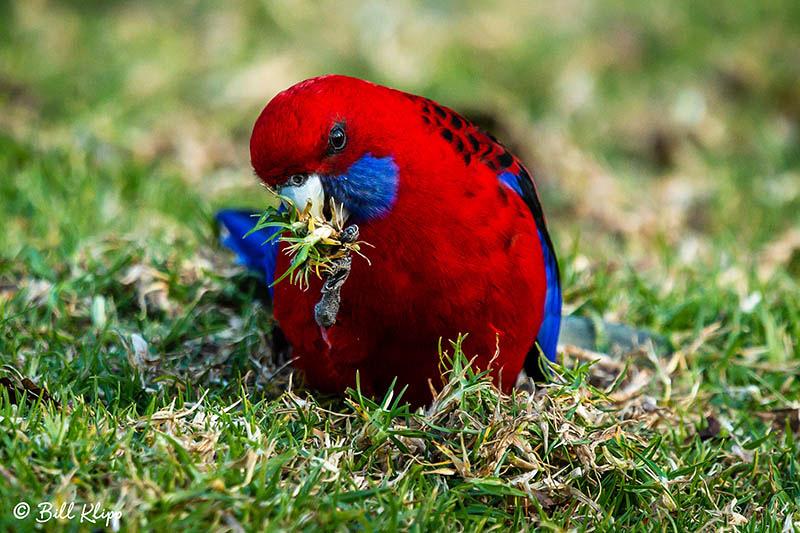 Crimson Rosella, O'Reillys, Lamington National Park, Australia, Photos by Bill Klipp