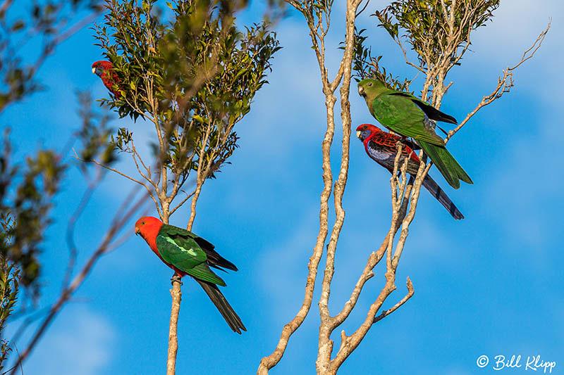 King Parrot, O'Reillys, Lamington National Park, Australia, Photos by Bill Klipp