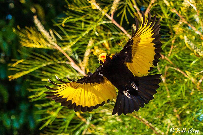 Regent Bowerbird, O'Reillys, Lamington National Park, Australia, Photos by Bill Klipp