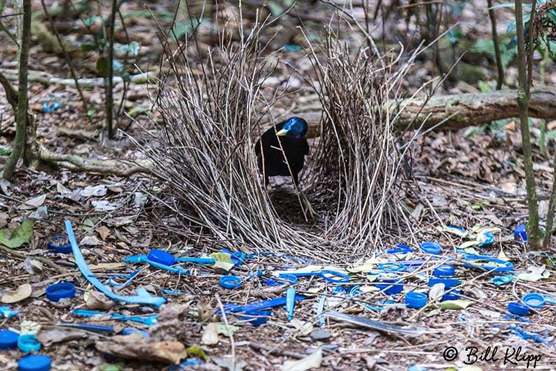 Satin Bowerbird, O'Reillys, Lamington National Park, Australia, Photos by Bill Klipp